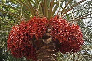 date-palm-iranguidance