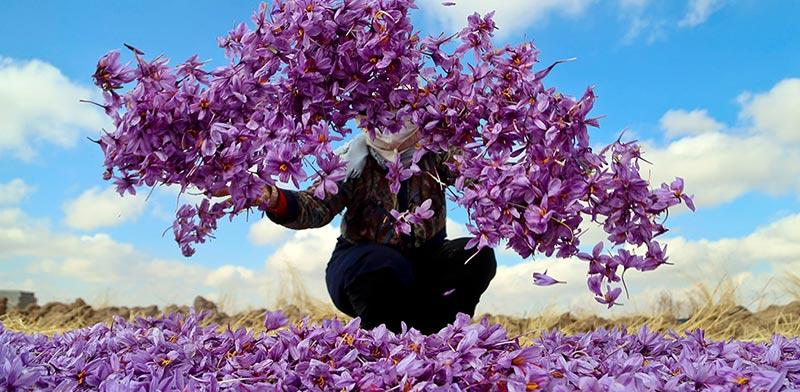 harvest-saffron-iranguidance